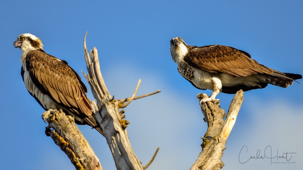 The first pair of Osprey to return to Vernon, BC