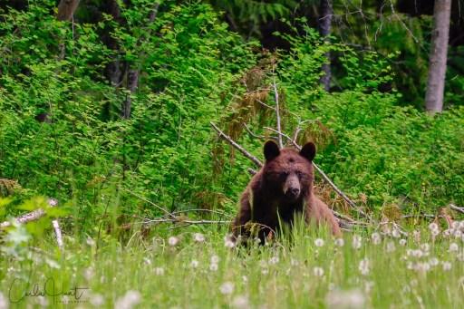 Last Bear I saw for the day, North Okanagan, BC