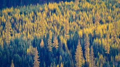 High up in the mountains above Lavington, larch trees are awesome this time of year.