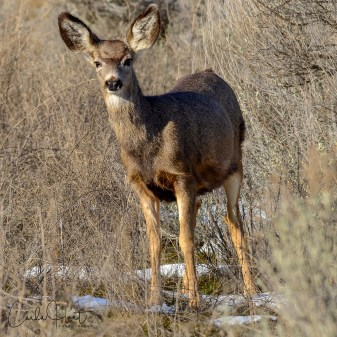 Beautiful Mule Deer