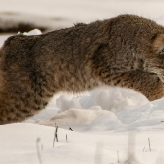 Bobcat Pouncing on Lunch