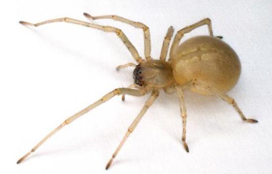 """À Montréal, soyez attentifs à l'araignée jaune """"Chiracanthium mildei"""""""