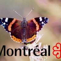 Le Vulcain : pour un insecte emblématique à Montréal
