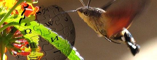Sphingidae : Développement de la fiche wikipédia