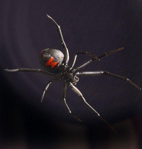 La mystique Veuve noire est considérée comme l'espèce d'araignée la plus venimeuse au monde