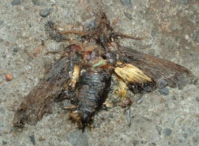 papillon écrasé