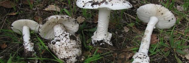 Les champignons mortels au Québec