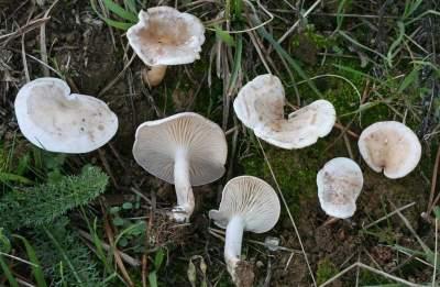 Le Clitocybe blanc (Clitocybe rivulosa, autrefois Clitocybe dealbata), est certainement plus dangereux que l'Amanite tue-mouches car il peut facilement être confondu avec l'excellent comestible (Clitopilus prunulus), voire aussi le Marasme d'oréade (Mousseron) avec lequel il partage le même habitat. Ce clitocybe se caractérise ainsi par sa pousse dans les pelouses. En Europe, il cause parfois des empoisonnements chez ceux qui croient à tort que toutes les espèces des gazons sont comestibles. Par le monde, quelques décès de personnes fragilisées ont été dus à son ingestion, car sa toxicité peut s'avérer mortelle pour les personnes fragilisées.