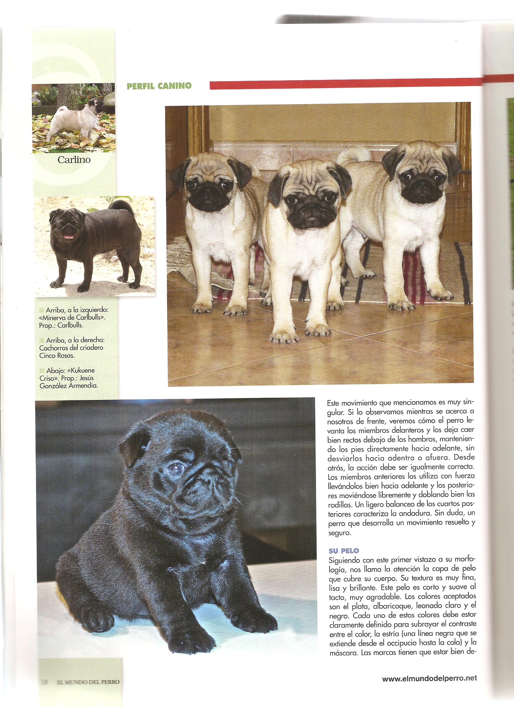 carlino negro black pug alicante