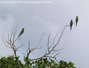 Madagascar bee-eaters. Funzi Island, Ramisi river