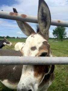 A minature donkey farm in Addison, Vt.