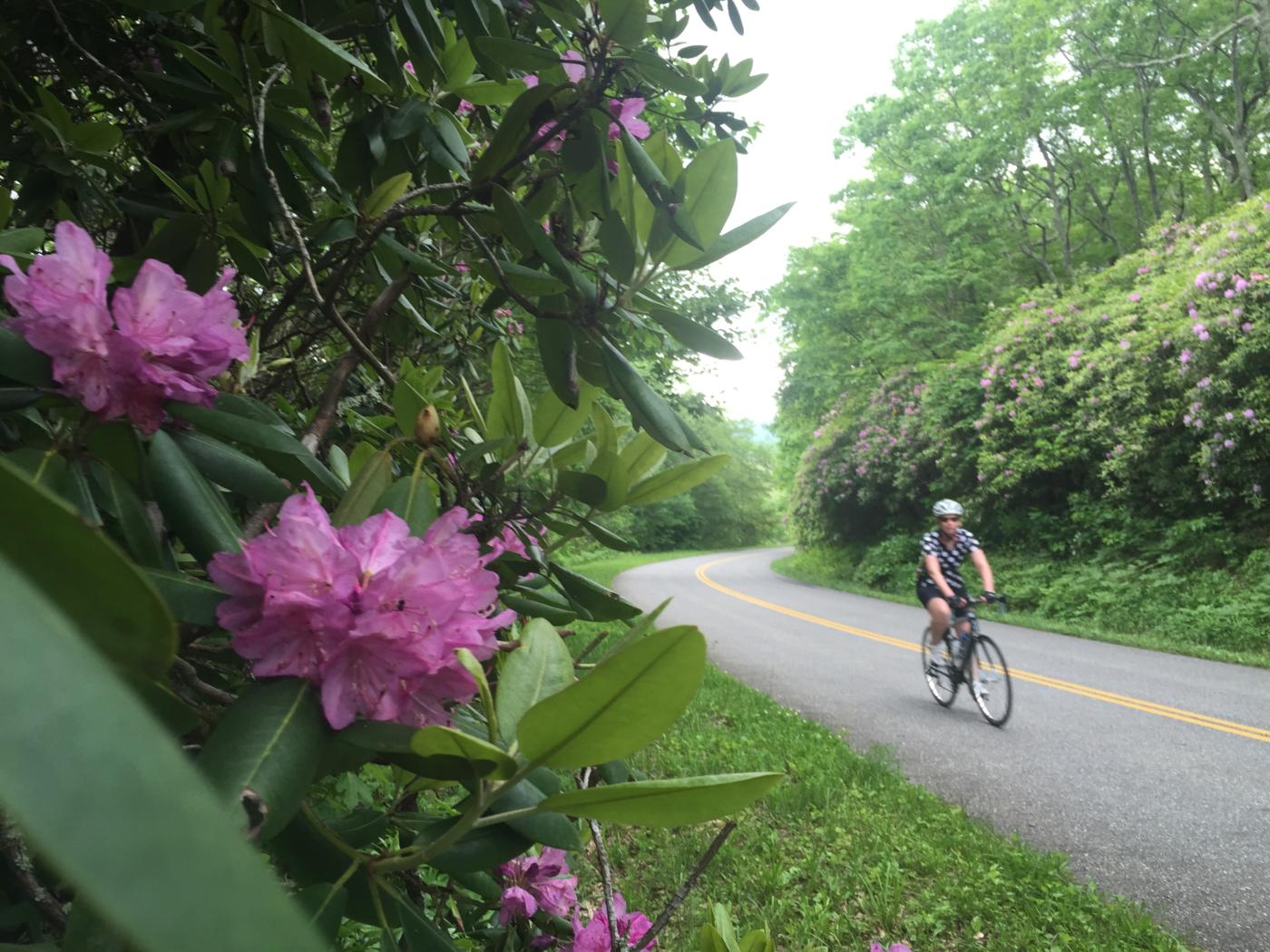 Rhododendron blooming on the Blue Ridge Parkway as Mary descends toward the Peaks of Otter.