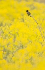 Tarabilla sobre un manto de flores