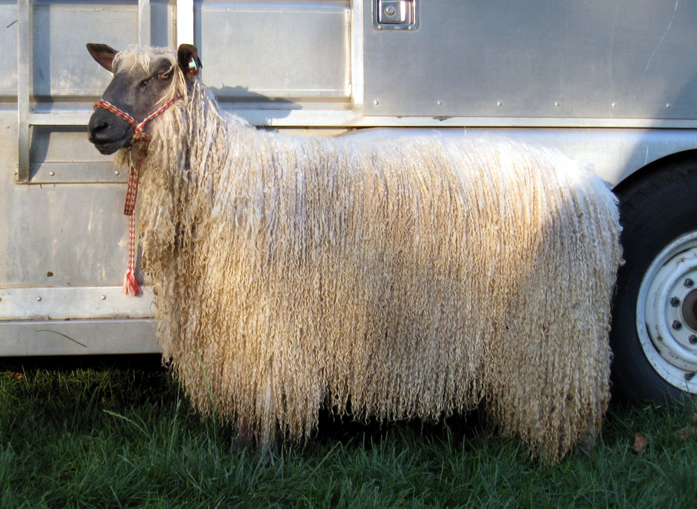 """This yearling was exhibited in full fleece - about 15"""" - and certainly attracted a lot of attention with those long lustrous curls"""