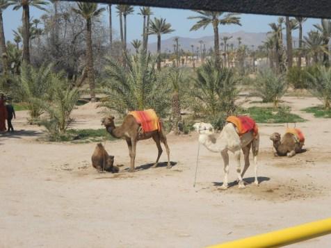 MarrakechCamels
