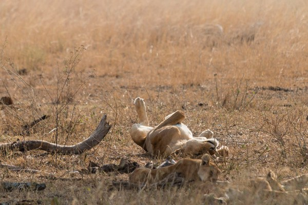 Lioness rolling around enjoying the sunshine
