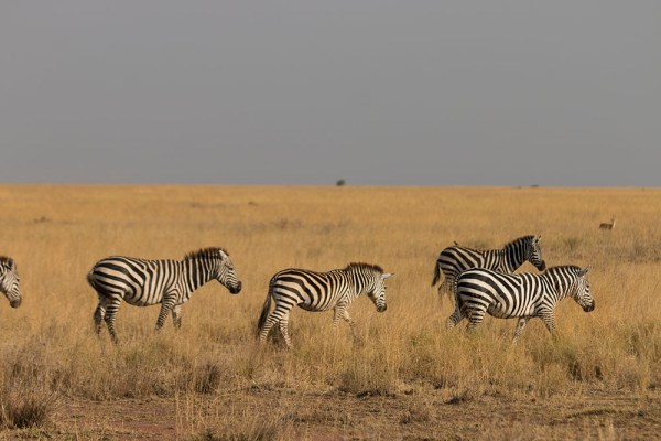 Then there were a few zebras! Zebras really are extraordinary animals