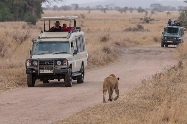 Lioness near jeeps