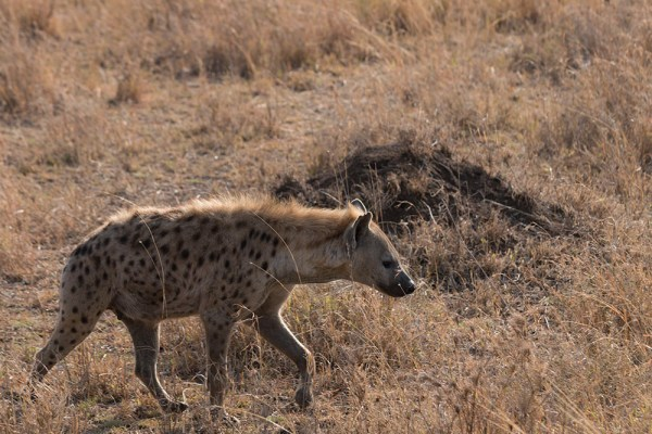 Our first hyena spotting