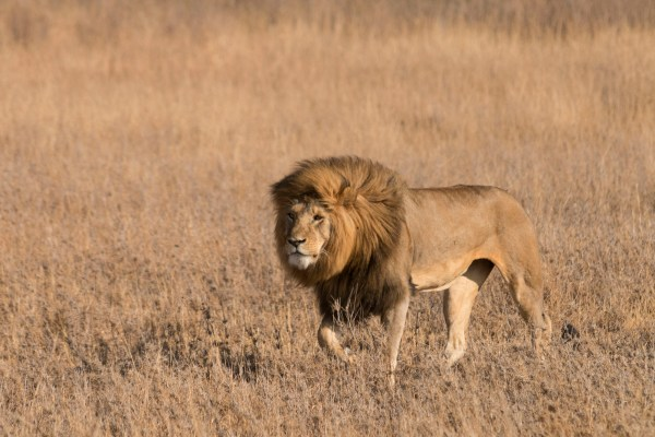 Male lion following two cheetahs