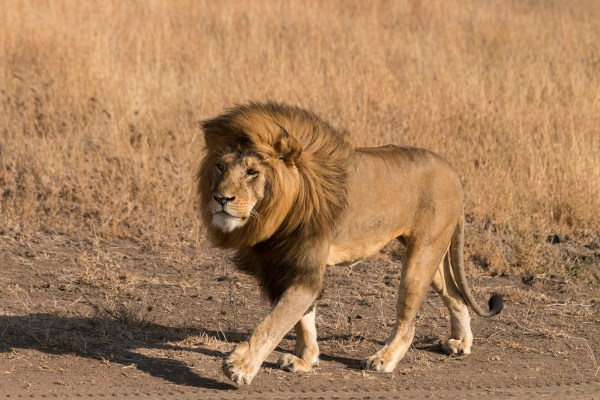 This male lion was simply beautiful, stunning and of so incredible!!