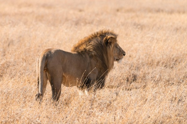 Then the male lion continued into the grass, the same way the cheetahs had gone