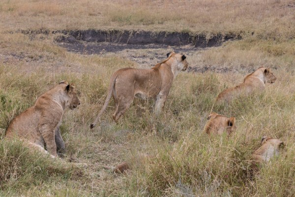 Lions being teased by a warthog