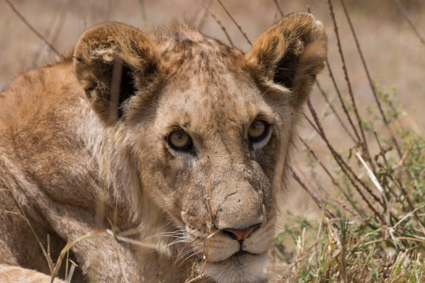 Those eyes!! A beautiful juvenile lion