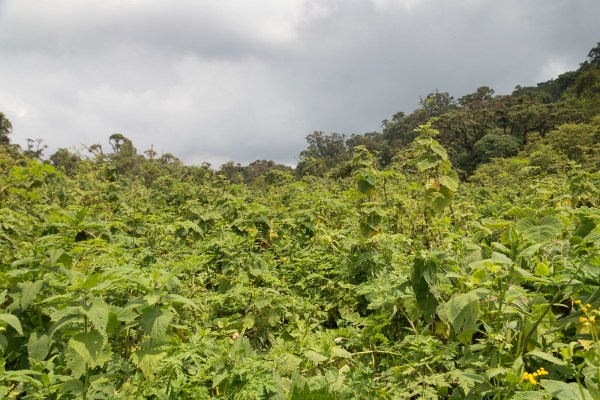Stinging nettles on the way to finding gorillas