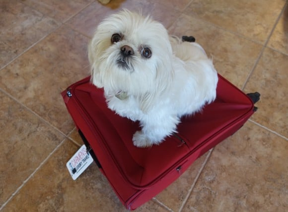 Emy my Shih Tzu feeling sad that she is being left behind when I travel