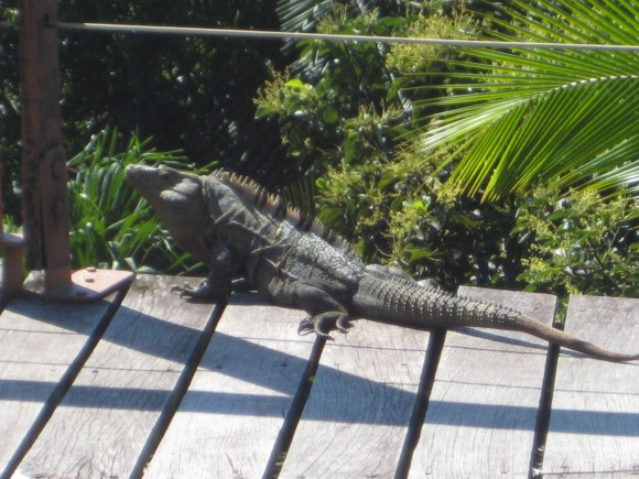 Lizard at Si Como No Resort