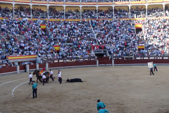 Bull being dragged away from the bullring, Plaza de Toros- Madrid