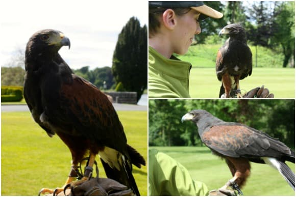Bomber a striking Harris Hawk at the School of Falconry at Dromoland Castle
