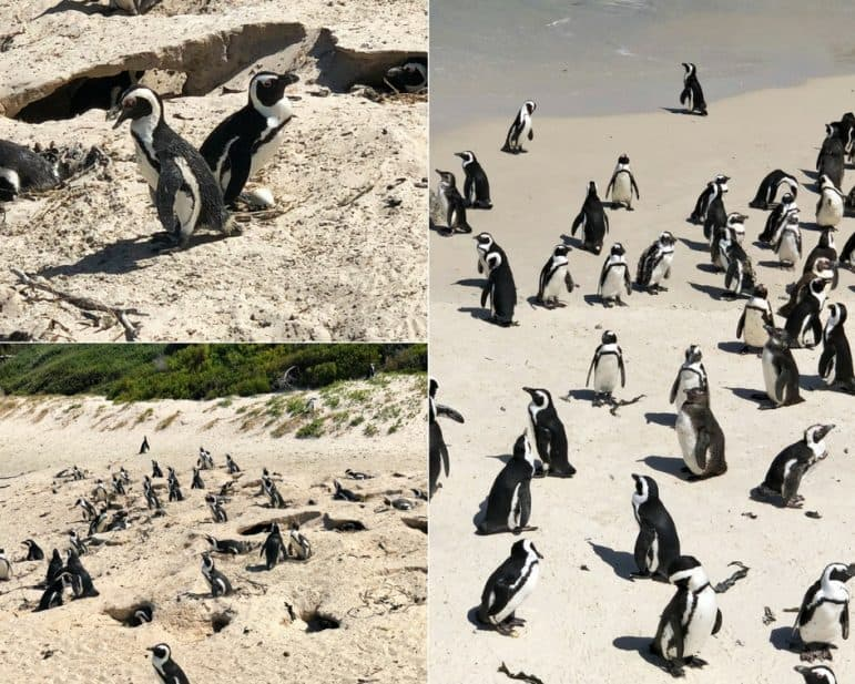 Boulder Beach - African Penguins Cape Town