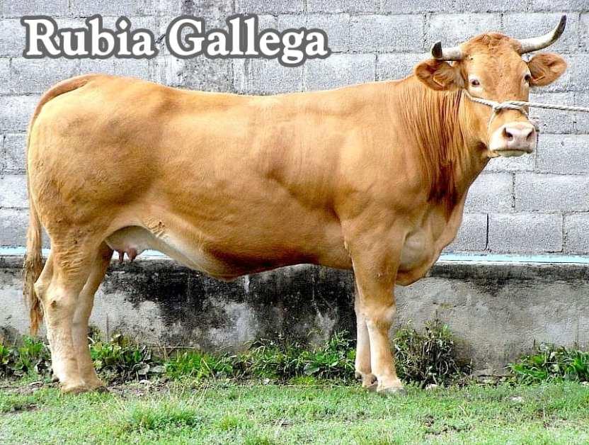 Carne de rubia gallega