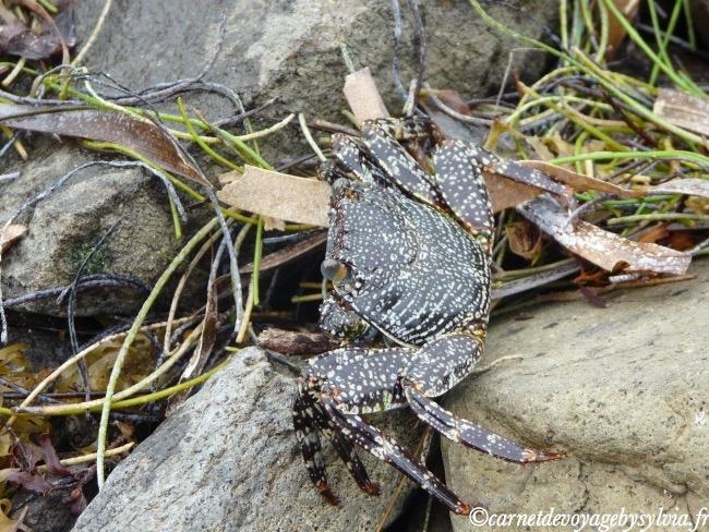 crabe Martinique