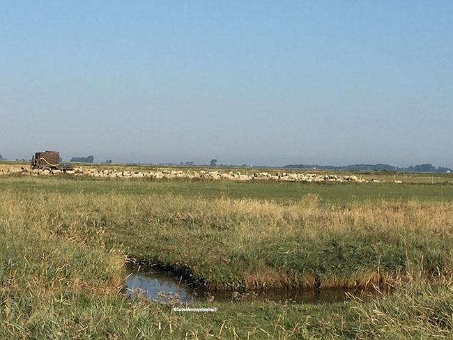 moutons pré-salé