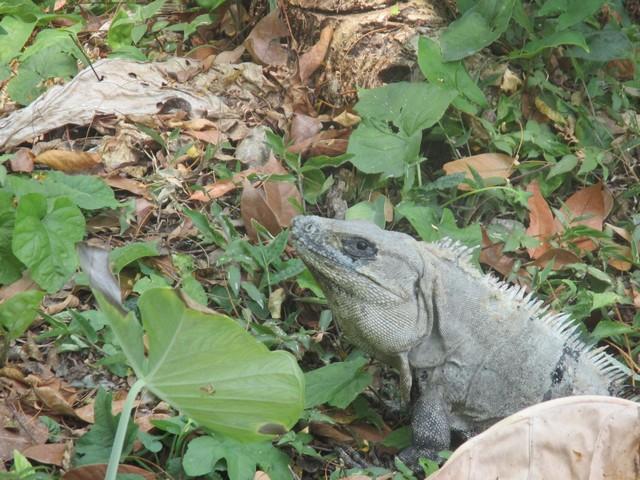 Iguane Ruines de Palenque