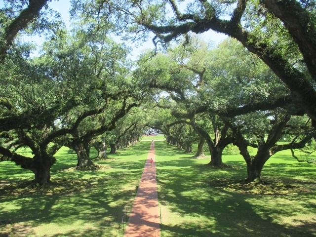 magnifiques chênes plantation oak alley