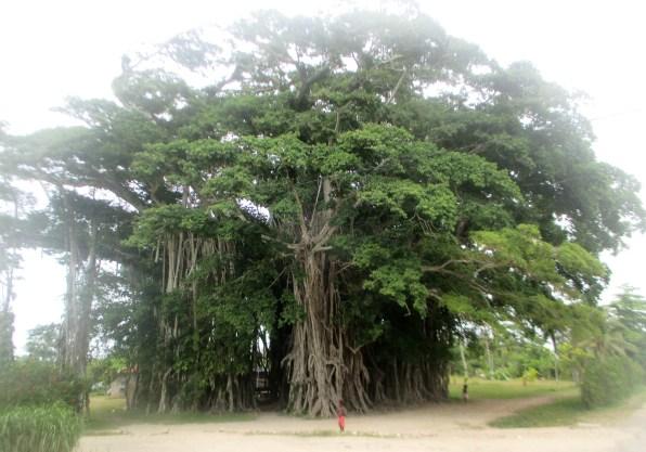 arbre géant 2 Vanuatu