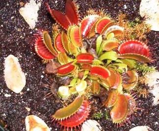 Dionaea jung