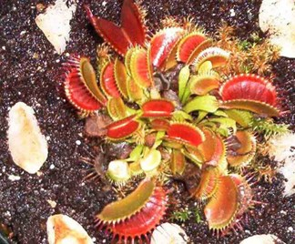 Dionaea Jungpflanzen
