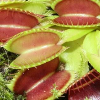 Fleischfressende Pflanzen