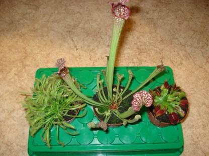 3 fleischfressende Pflanzen riesig