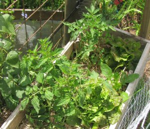 Even in a very small space there's room for tomatoes, beans, lettuce and more