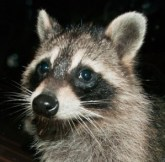 Raccoon_cropped
