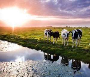 Image of livestock drinking from a typical watershed, a close relationship between antibiotics and their environmental impact