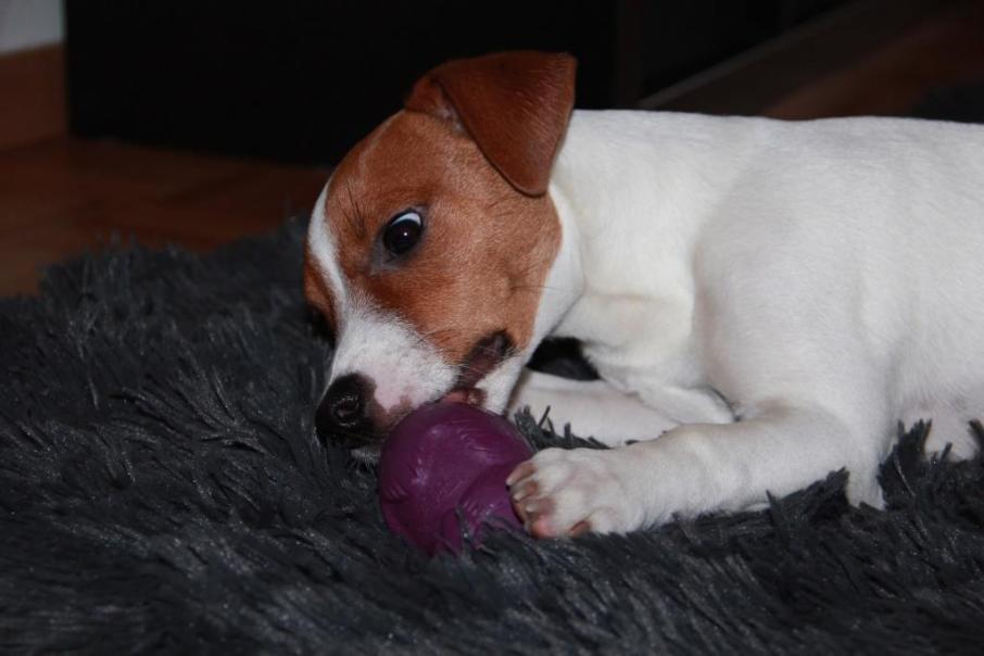 jack russell cosmos