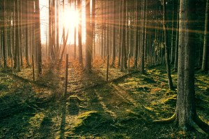 Sunset in Spruce Forest