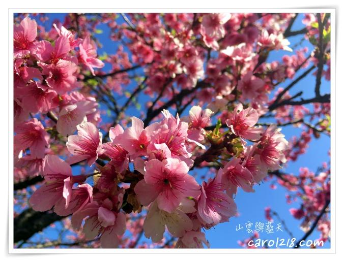 [新北]文山農場賞櫻花,春遊野餐露營好地點